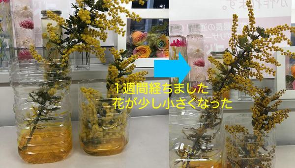 mimosa20180323-02s.jpg